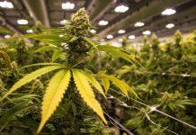 Pennsylvania Cannabis News